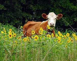 Sunflower Cow - 2