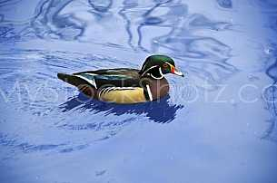 Wood Duck wading