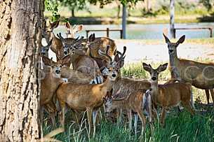 Herd of young deer