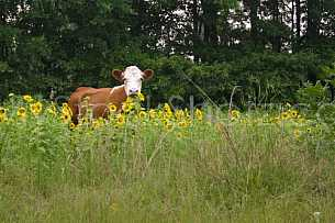 Sunflower Cow - 1