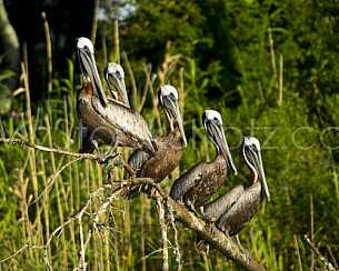 Pelicans Resting - Mobile Bay