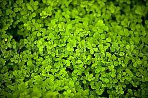 Clover in Green