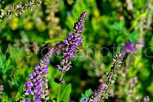 Honey Bee on flower 1