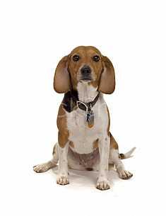 Just a beagle