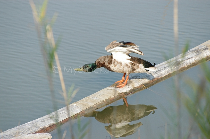 Duck Preflight