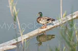 Duck on log