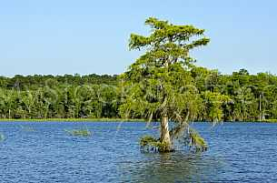 Tree in the Mobile Bay Delta