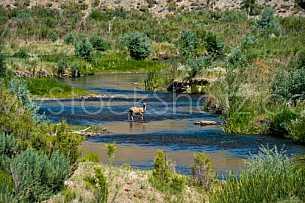 Deer crossing stream or river