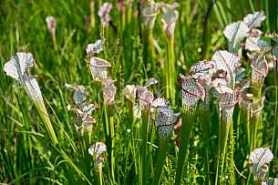 Baldwin County Pitcher Plant Bog